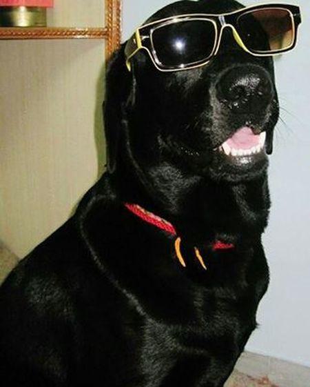 Damn! i'm such a HOT DOG...LOL😊 Puppytales Puppy_tales Crazyaboutdogs Lovemydog Stylishdog Cutedog Dogsofinstagram Dogstagram Barkpost Dogpeople Myfurbaby Labrador Blacklab