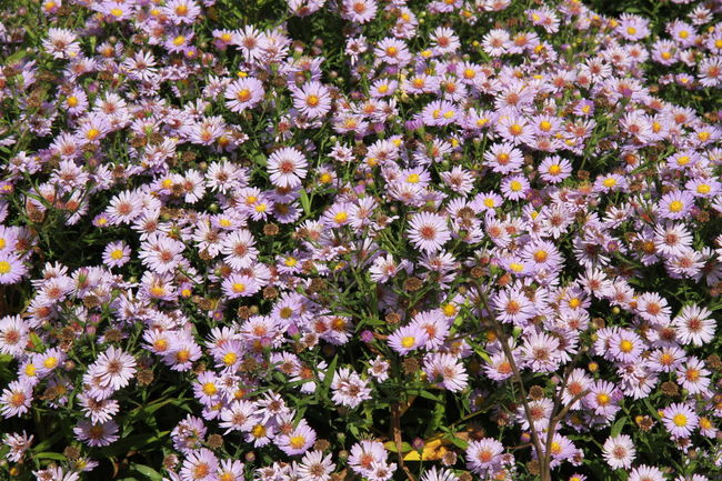 Abundance Beauty In Nature Blooming Botany Close-up Day Flower Flower Head Focus On Foreground Fragility Freshness Growing Growth Nature No People Petal Purple Springtime Stockholm Sweden