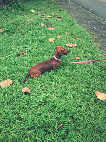 enjoying the grass Things That Are Green Doggyday Dacshund StoryOfMyLife