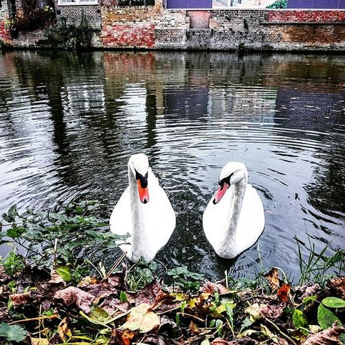 I said lets meet for lunch.. Swans Ware RiverLea Hertfordshire Canal Water Nature Birds Animals Picoftheday Picturesque ICAN Couple Capture Snapshot Sonyxperia XperiaZ3