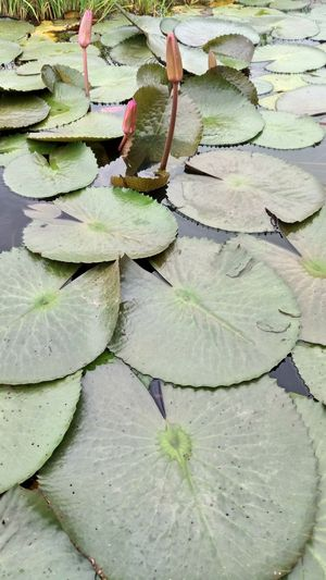Leaf Full Frame Backgrounds No People Growth Plant Beauty In Nature Freshness Topical Nature Tree Floating On Water Red Lotus Lake Ramsar Site Flower Head
