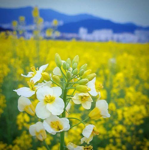 유채꽃 대저유채꽃축제 . . .Photography Photographer 부산 Busan Spring Flower 일상 데일리 감성 감성사진 사진 여행 일상공유 Sotong 미러리스 Follow Followme Photo Travel Daily Southkorea