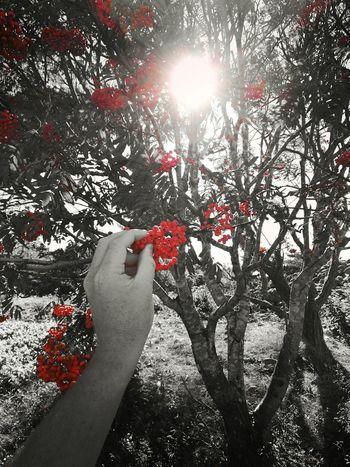 Fall Colors Fall Summerisover Lastofsummer Sorbus Aucuparia Rowan Rowanberry Rowan Tree Picking Berries Berries First Eyeem Photo Edited