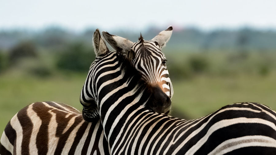 Animal Markings Animal Themes Animal Wildlife Animals In The Wild Beauty In Nature Close-up Day Focus On Foreground Mammal Nature No People One Animal Outdoors Safari Animals Striped Wilderness Area Zebra