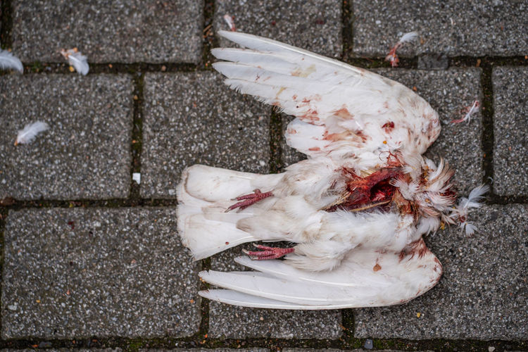 killed white pigeon Domestic Animal Animal Themes Pets Domestic Animals One Animal Vertebrate Footpath High Angle View No People White Color Day Directly Above Outdoors Street City Paving Stone Dead Killed Pigeon Bird