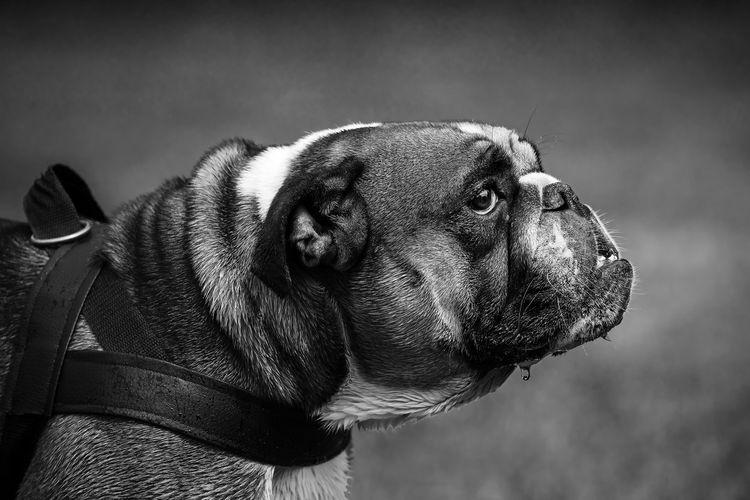 Bulldog EyeEm