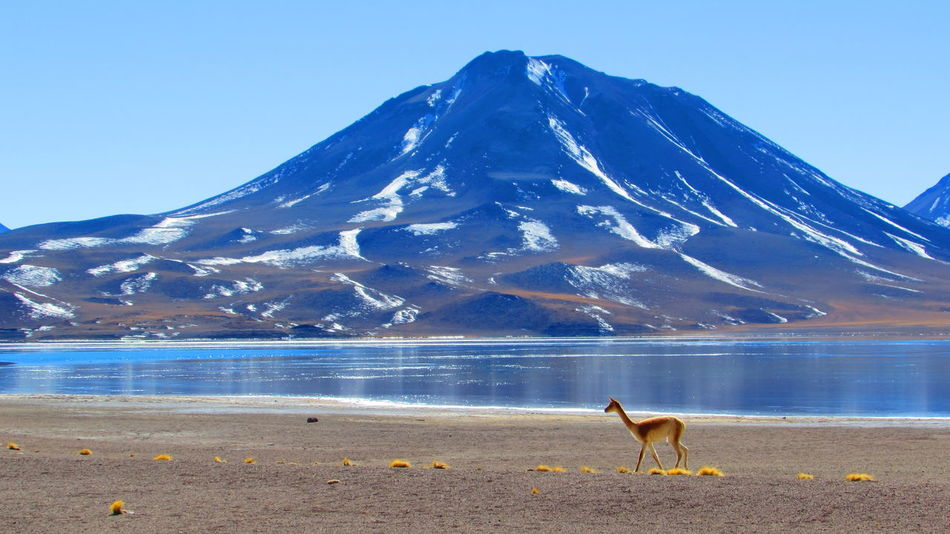 San Pedro De Atacama , Chile Lagunas Altiplanicas Miscanti Oil Pump Water Mountain Snow Sea Llama Cold Temperature Blue Flamingo Snowcapped Mountain