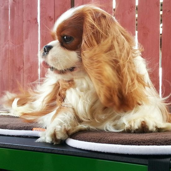 Awesome Cavalier King Charles Spaniel Ckcs Show