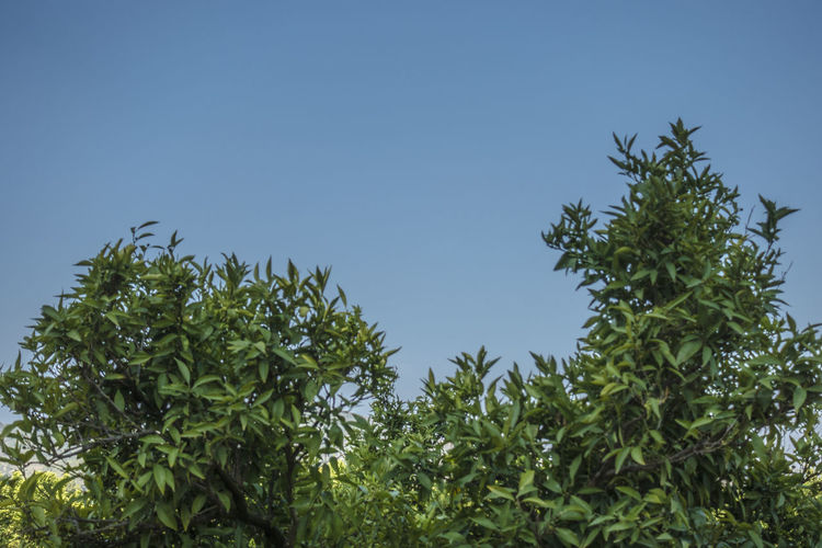 Rural Beauty In Nature Blue Blue Sky Branch Clear Sky Copy Space Day Food And Drink Freshness Green Color Leaf Leafs Photography Low Angle View Naranjos Nature No People Orange - Fruit Outdoors Plant Plant Part Rural Scene Sky Tranquility Tree