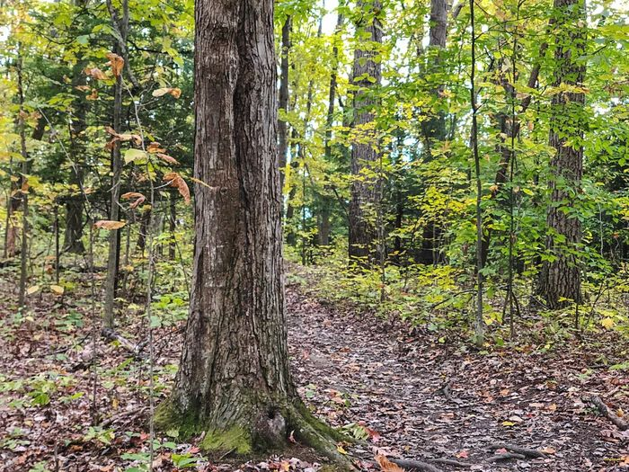 Tree Tree Plant Trunk Tree Trunk Growth Land Nature Environment Tranquil Scene Scenics - Nature Outdoors Tranquility Beauty In Nature Green Color Forest No People Sunlight Day WoodLand Landscape