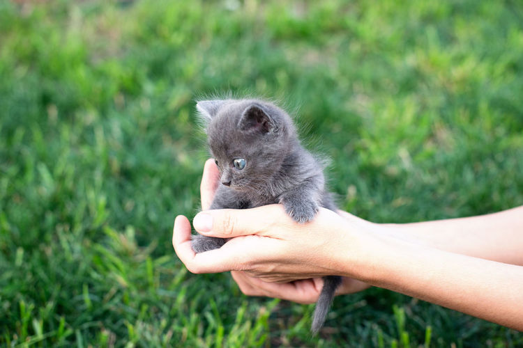 Gray kitten one month old in hands. cat and green lawn outside. copy space