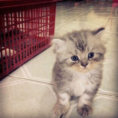@bolinn Bubu Grey Babycat