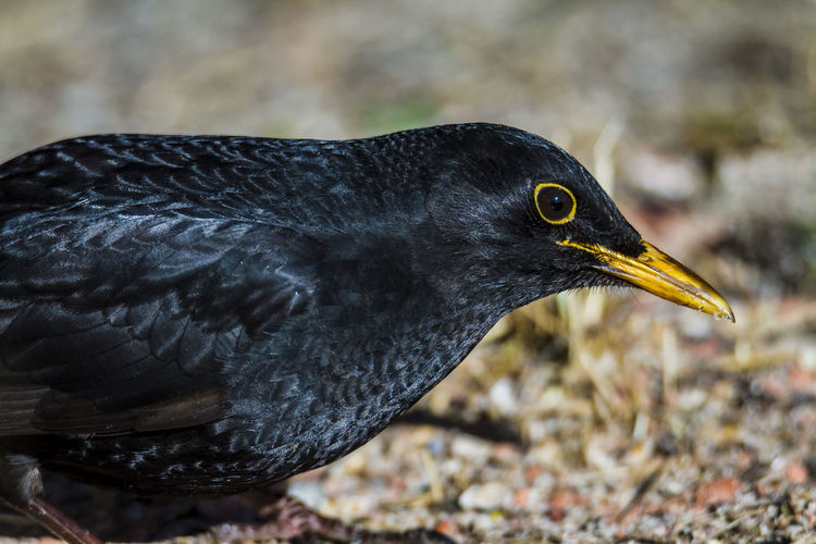 Blackbird close-up Bird Animal Vertebrate One Animal Animals In The Wild Animal Themes Animal Wildlife Focus On Foreground Close-up Black Color Day Beak No People Nature Side View Outdoors Blackbird Looking Animal Body Part Looking Away Animal Head  Profile View Animal Eye