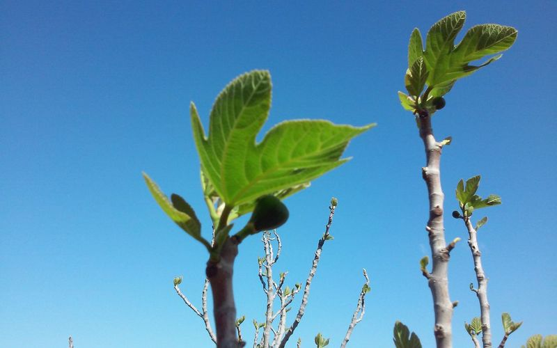Low angle view plant against clear blue sky