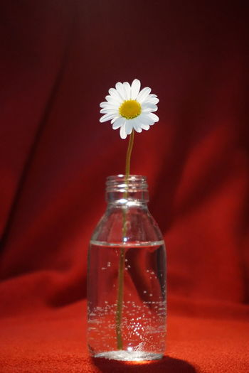 Flower Flower Head Flowering Plant Wild Flowers Glass Glass - Material Water White White Color Red Red Color Red Background Copyspace Copy Space Background Texture Flower Head Flower Bouquet Red Studio Shot Vase Jar Petal Close-up Flower Arrangement Bunch Of Flowers Flower Market Blossom Plant Life In Bloom The Minimalist - 2019 EyeEm Awards My Best Photo