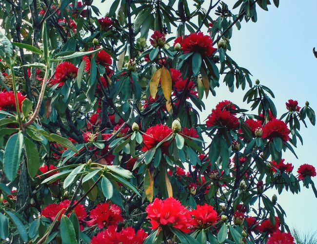 Buraas tree