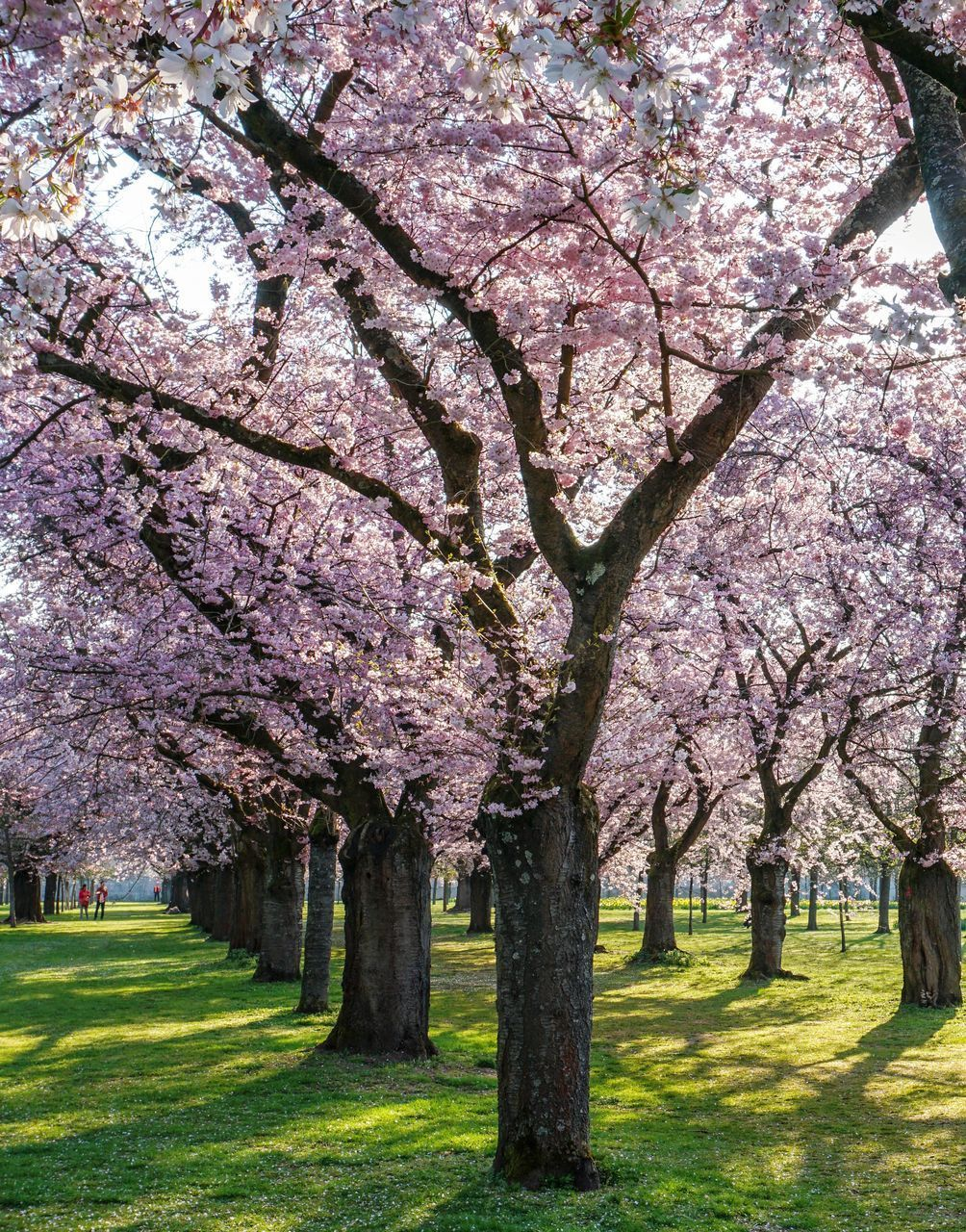 plant, tree, blossom, flower, flowering plant, springtime, growth, freshness, trunk, tree trunk, branch, beauty in nature, fragility, nature, cherry blossom, grass, park, day, no people, cherry tree, pink color, outdoors, treelined, spring