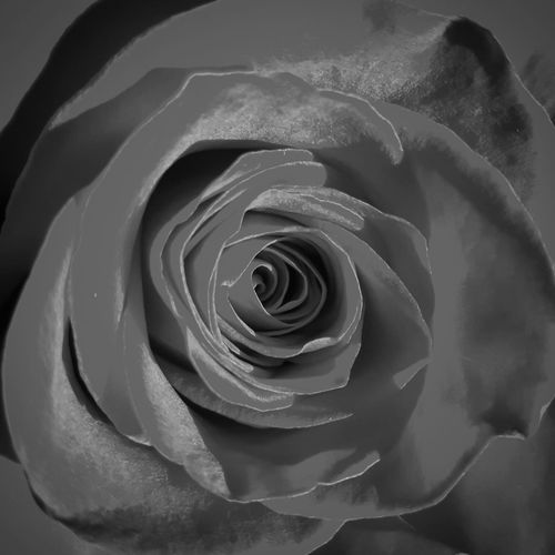Rosa ♡ Lucariva No People Flower Head Satin Close-up Fragility Petal Softness Elégance Indoors  Day Rosa Grigia Grey Rose