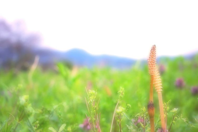 Love. Taking Photos Enjoying Life Hello World Cheese! Wildflowers Airy EyeEm Nature Lover Showcase April Spring 春 Spring Time Bokeheffect Bokeh Spring Colours Japan Cloudy つくし Springfield Fields And Sky Love ♥