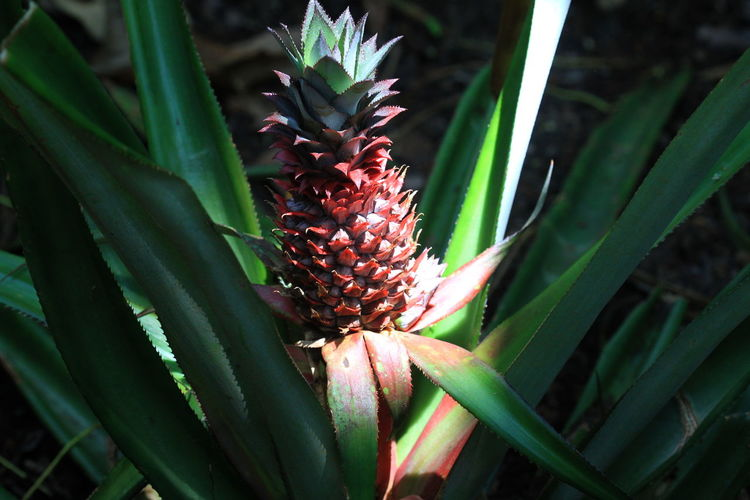 Close-up of red pineapple