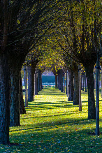 Tree Plant Nature Architecture Park Tree Trunk Direction No People Trunk Day Outdoors Arch Treelined The Way Forward Park - Man Made Space Grass Sunlight Growth In A Row Beauty In Nature Diminishing Perspective Architectural Column Tree Canopy
