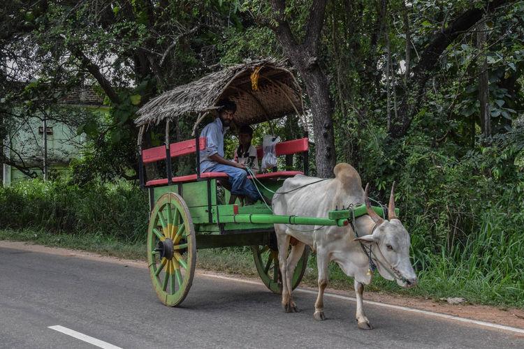 Carriage around Dambulla Horse Cart Road Sitting Horse Carriage Working Animal Land Vehicle Vehicle Horsedrawn
