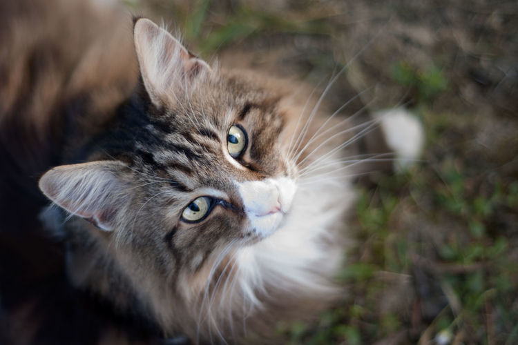 Beautiful white and brindle norwegian forest cat shot from above looking at the camera outdoors.