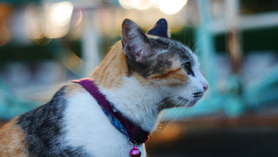 One Animal Domestic Animals Pets Animal Themes Mammal Focus On Foreground no Cat Domestic Cat Tabby Cat Animal Nature Portrait EyeEmNewHere people Close-up Yawning Day Outdoors Long Goodbye Pet Portraits