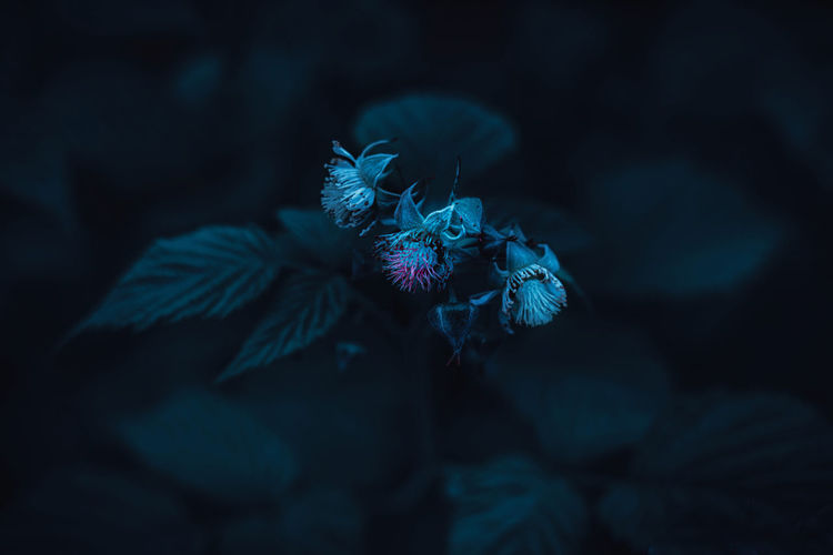 Close-up of raspberry plant blooming in the darkness
