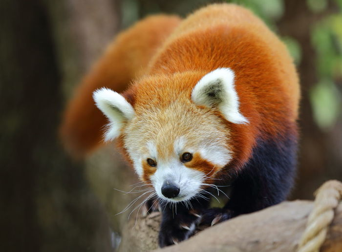 A Red Panda making his way down from a 40ft tall tree. Animal Wildlife Claws'n Paws Close-up EyeEmNewHere Focus On Foreground Nature One Animal Outdoors Panda Panda - Animal Red Panda Whisker