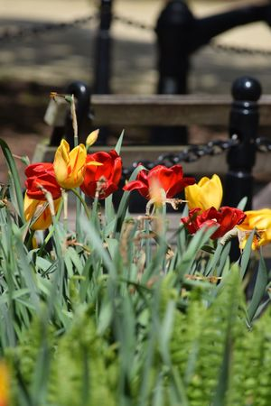 Beauty In Nature Flower Fragility Petal Freshness Growth Nature Plant Selective Focus Flower Head Day No People Outdoors Blooming Close-up Tulips Flowers Tulips🌷 Multi Colored Flower Collection Red Tulips Yellow Tulips Tulips Red And Yellow Red And Yellow Flower Nature