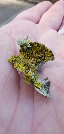 Lava Close-up Plant