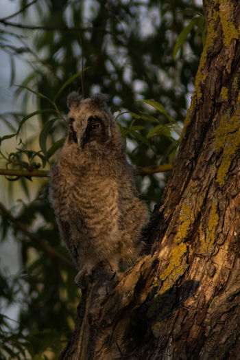 Animal Themes Tree Animals In The Wild Animal Plant Animal Wildlife One Animal Trunk Mammal Tree Trunk Branch Vertebrate Nature No People Focus On Foreground Sitting Day Low Angle View Outdoors Looking Malephotographerofthemonth Owl Owl Photography Naturelovers