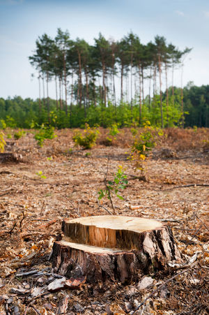 Woods logging one stump after deforestation blast woods in Poland. Group of last coniferous trees blurred behind, dried forest nature degradation, environment control. Vertical orientation. nobody. Bole Chop Coniferous Cut Damaged Deforestation Degradation Demolished Desolated Dried Dry Ecology Environment Forest Hack Log Logging Nature Old Plant Tree Trees Trunk Wood Woods