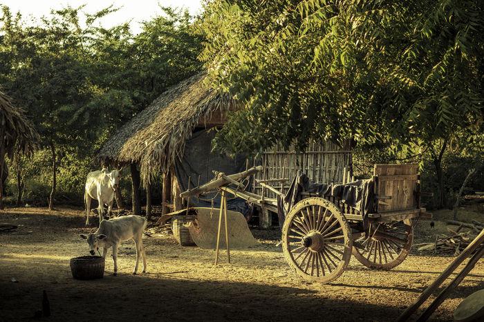 Farm Bagan Bagan, Myanmar Bullock Cart Burma Calf Cow Myanmar Ox Cart Oxcarts Veal