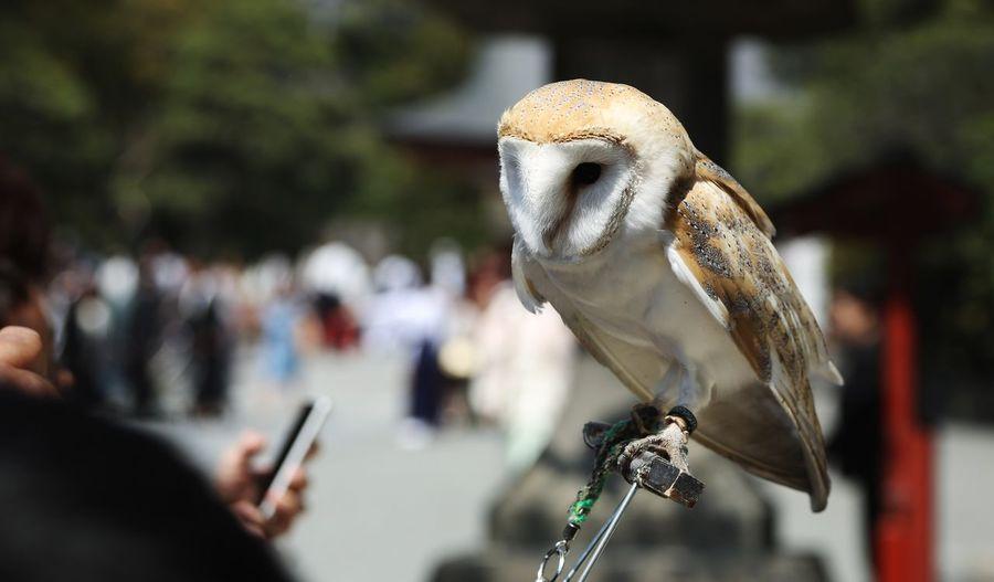 Bird Tokyo,Japan Animals In The Wild One Animal Animal Wildlife Outdoors Close-up Owl Owl Eyes