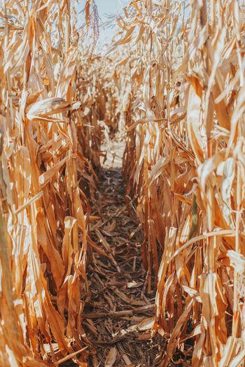 Narrow path in corn maze labyrinth at farm. autumn fall harvest.