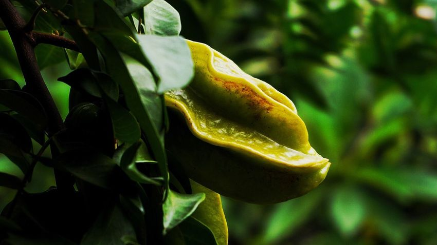 Tropical star fruits Green Color Growth Leaf Yellow Food And Drink Nature Food Freshness Healthy Eating Plant Close-up Outdoors No People Day Star Fruit  Fruit