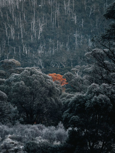 Warm morning light illuminates a single tree situated in a snow covered forest near Thredbo, Australia. The Thredbo Diggins campsite is free and a popular spot for many snow sports adventurers to sleep for the night. Olympus Snow ❄ Winter Beauty In Nature Em1mk2 Environment Fog Forest Formation Landscape Mini Nature No People Non-urban Scene Plant Single Colour Tree Week On Eyeem Winter WoodLand The Great Outdoors - 2018 EyeEm Awards The Traveler - 2018 EyeEm Awards A New Perspective On Life Capture Tomorrow