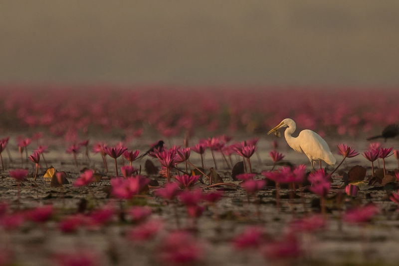 Great egret perching amidst pink lotus water lilies in lake