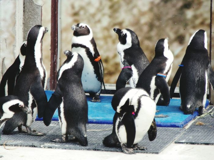 Bird Photography series : Line up for foods or social gathering? Expecting.!! African Penguins Social Gathering Line Up Bird Photography Bird Photographer Avian Photographer Avian Photography Aves Fotografia Bird Penguin Multi Colored Close-up
