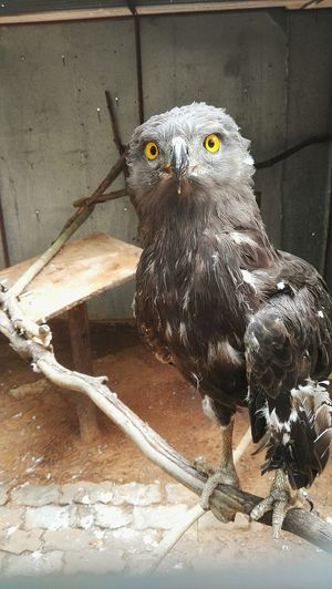 Brown Snake Eagle Nature Photography Predatory Bird