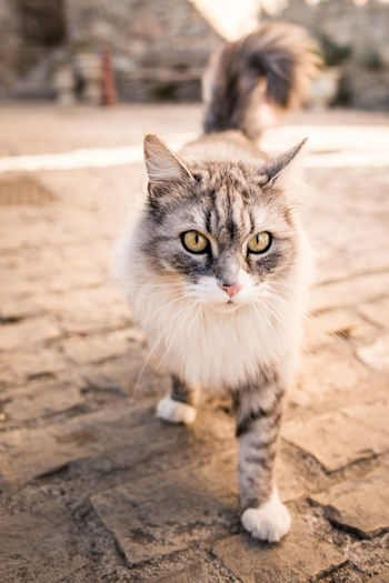 Close-up portrait of cat walking on cobbled street