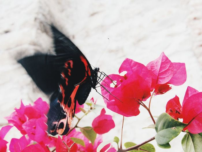 Butterfly Pink Color Close-up Red Beauty In Nature Fragility Animal Themes Flower Butterfly - Insect Day