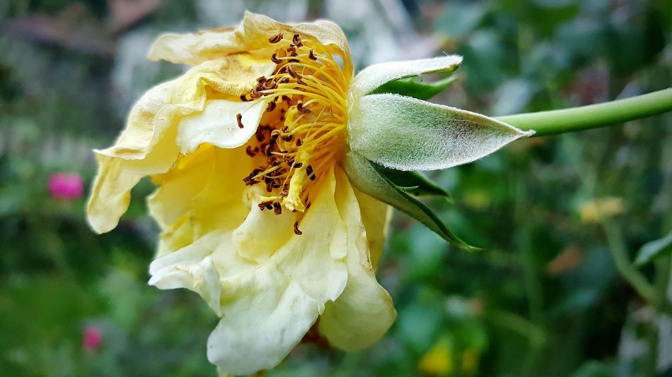 Flower Nature Close-up Beauty In Nature Yellow Flower Head Day Outdoors Samsungphotography Nature_collection Grofovija Beautiful ♥ Nature