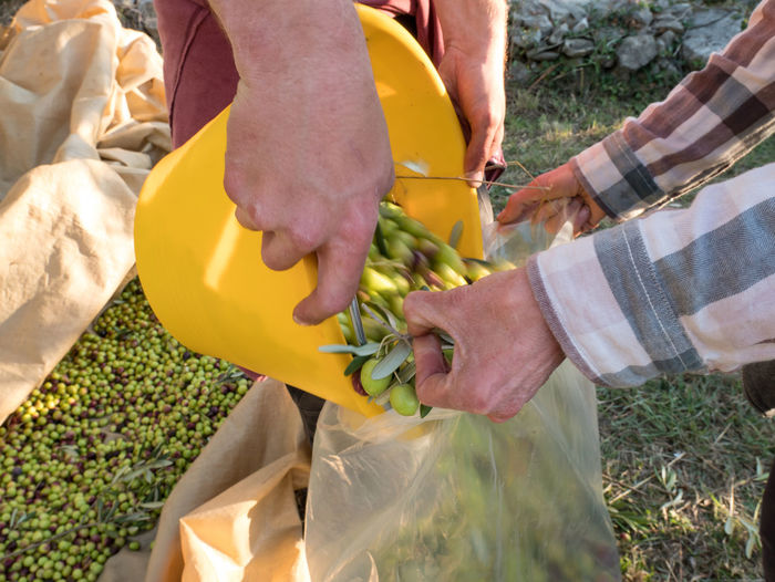 Cropped Hands Of Farmers Putting Olives In Plastic Bag At Farm