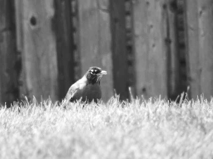 Robin bird perching on a field