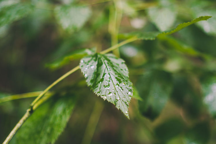 Wet leaf in