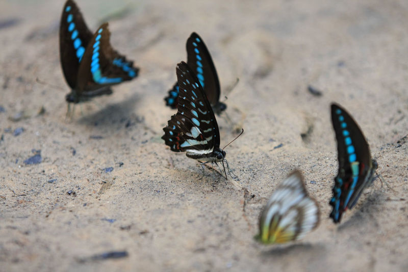 Butterfly Animal Themes Animals In The Wild Beauty Beutiful  Close-up Colors Day Endemic Insect Maros-south Sulawesi-indonesia Nature No People Outdoors Sand