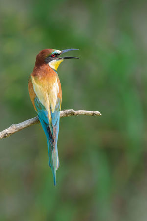 Avian Beauty In Nature Bee-eater Blue Close-up Day Feather  Focus On Foreground Growth Nature No People Outdoors Perching Selective Focus Twig Wildlife Wooden Post